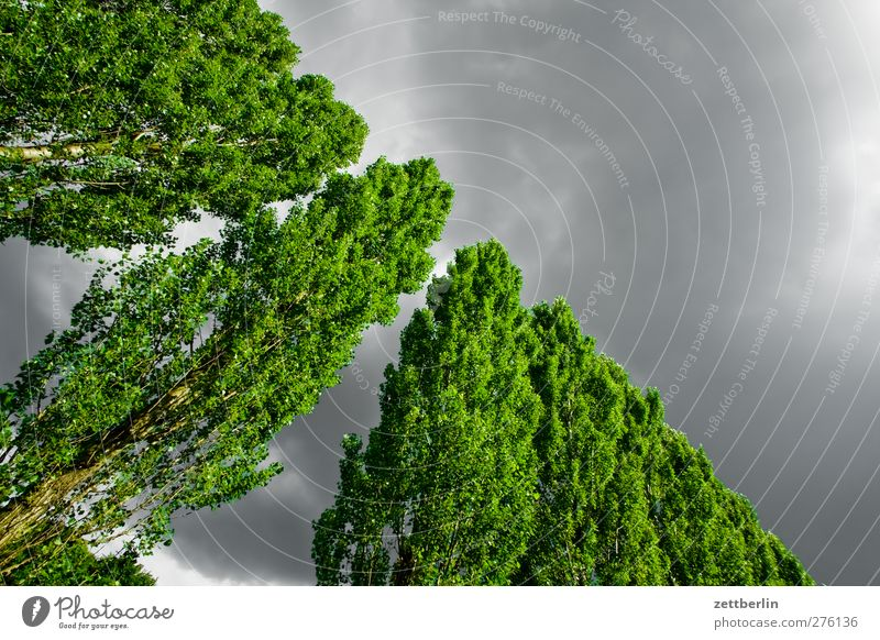 Pappeln Umwelt Natur Landschaft Himmel Wolken Gewitterwolken Sommer Klimawandel Wetter Schönes Wetter schlechtes Wetter Unwetter Pflanze Baum Blatt Garten Park