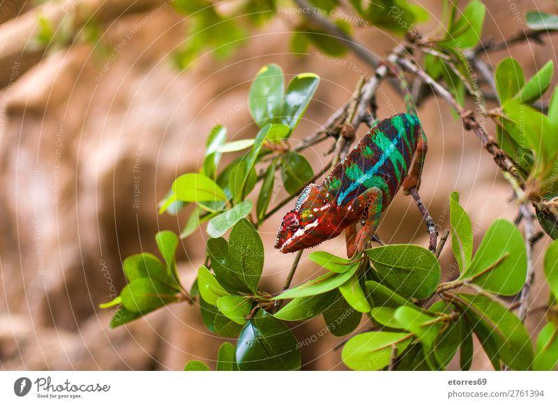 Buntes Chamäleon Panther Chamäleon Tier Wald Urwald wild Farbe mehrfarbig Ast grün Natur exotisch Landschaft Blatt Reptil Nahaufnahme Baum