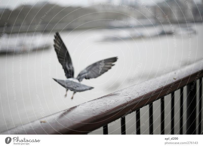www.ichmussweg.de Ferien & Urlaub & Reisen Tourismus London Wildtier Taube 1 Tier fliegen kalt blau grau weiß Optimismus Abenteuer anstrengen Themse