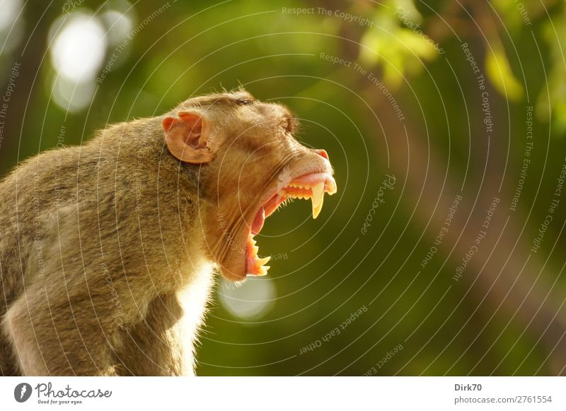 Imponiergehabe Natur Schönes Wetter Baum Park Wald Urwald Madras Tamil Nadu Indien Wildtier Affen Indischer Hutaffe Zähne zeigen 1 Tier Aggression bedrohlich