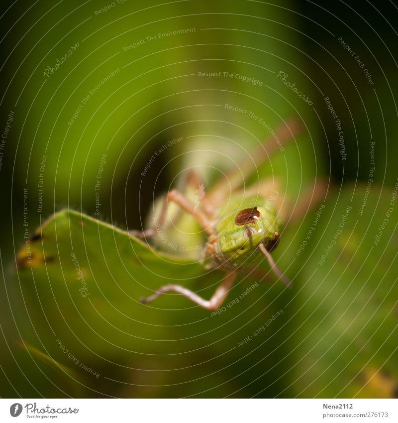 Besuch aus der Unterwelt... Umwelt Natur Tier Sommer Blatt Tiergesicht Insekt Heuschrecke Steppengrashüpfer 1 klein grün Farbfoto Außenaufnahme Nahaufnahme