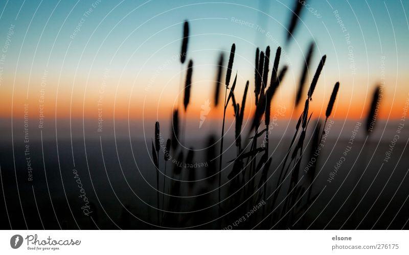 REED Natur Landschaft Wolkenloser Himmel Nachthimmel Horizont Sonnenaufgang Sonnenuntergang Schönes Wetter Pflanze Gras Sträucher Wildpflanze Schilfrohr Wiese