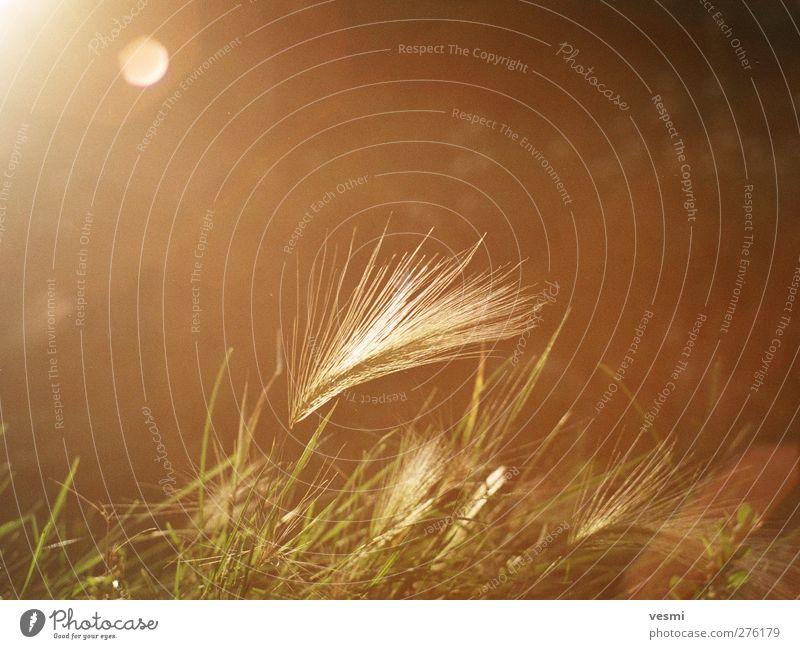 Traum Natur Sommer Erholung Wärme Gras Freiheit Stil Stimmung braun Feld ästhetisch Warmherzigkeit retro Romantik Idylle Getreide
