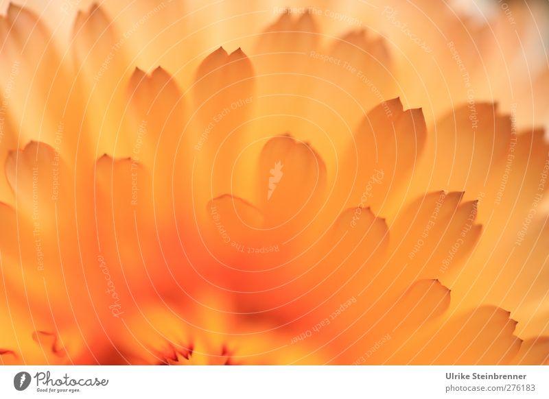 Let the sunshine in Natur Pflanze Sommer Blume Blüte Nutzpflanze Ringelblume Korbblütengewächs Heilpflanzen Garten atmen Blühend Duft leuchten Wachstum