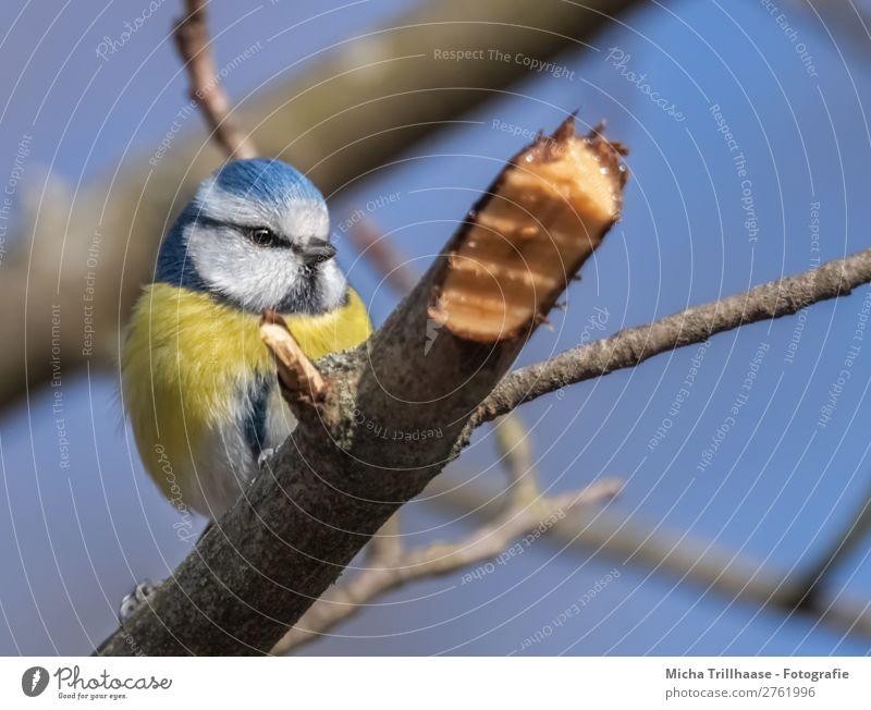 Blaumeise auf einem Ast Himmel Natur blau weiß Baum Tier schwarz gelb Auge natürlich klein Vogel leuchten glänzend Feder Schönes Wetter