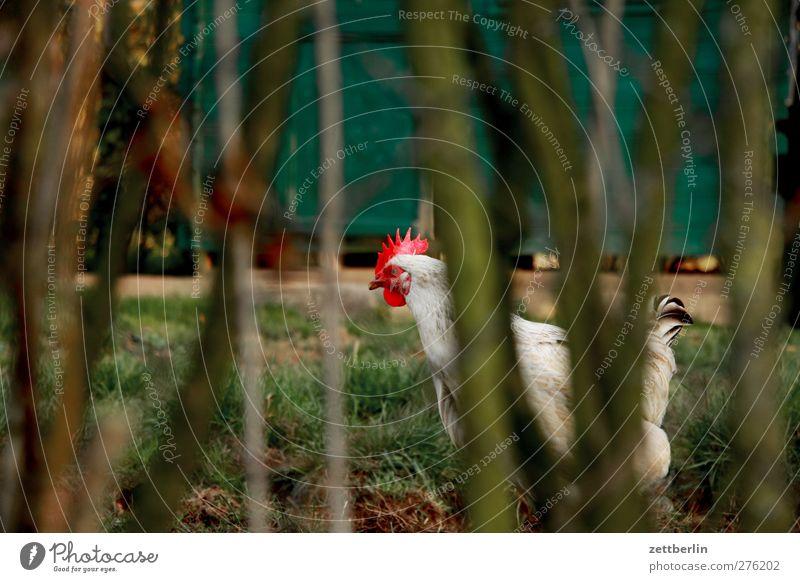Huhn Umwelt Natur Sommer Herbst Garten Park Tier Nutztier Vogel Tiergesicht 1 laufen Haushuhn freilaufend Bioprodukte Geflügelfarm Bauernhof Tierhaltung