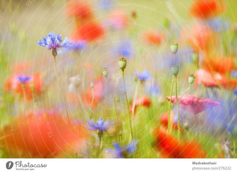 Sommerwiese Natur Landschaft Pflanze Blume Gras Blüte Mohn Mohnfeld Kornblume Wiese Blühend blau mehrfarbig rot Leichtigkeit Unschärfe Tiefenschärfe Mohnkapsel