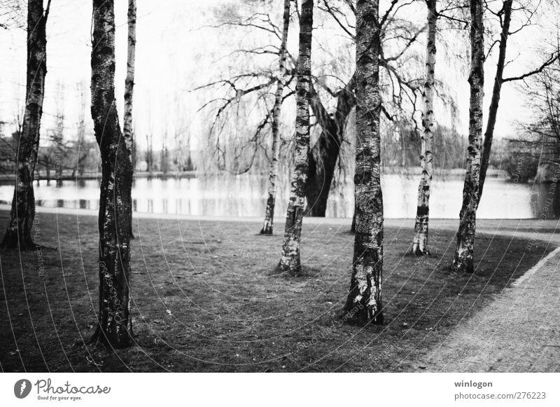 Birken Natur Landschaft Pflanze Frühling Sommer Herbst Baum Park See Bach schwarz weiß Hamm Deutschland Wald Birkenallee Wasser Gras Wege & Pfade trist genießen