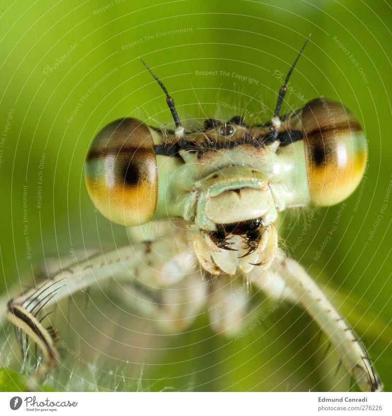Libelle Werkzeug warten groß Angst Feindseligkeit Aggression Drohen Landraubtier Offener Mund Bösewicht dragonfly mouth Makroaufnahme Porträt Tierporträt