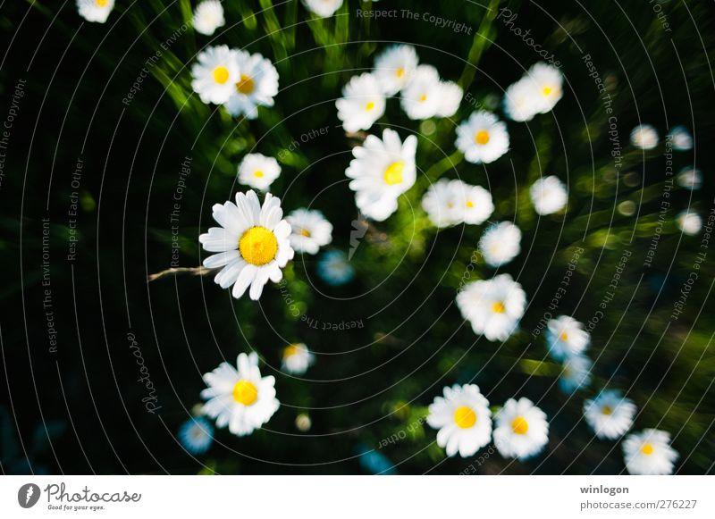 Kamillen Natur weiß grün schön Sommer Pflanze Blume schwarz gelb Blüte Erde nah Kräuter & Gewürze Zeichnung Grünpflanze