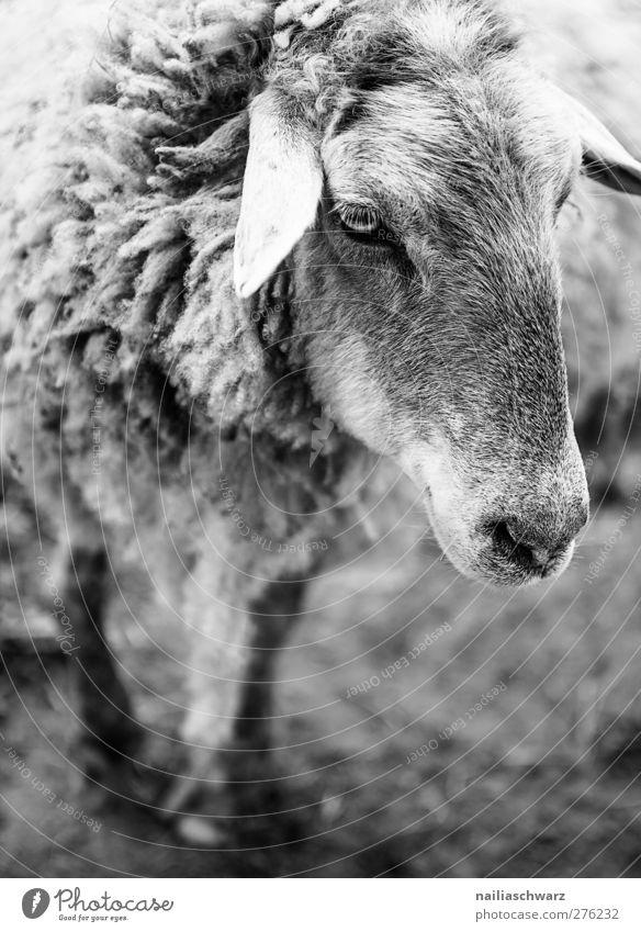 Schaf Landwirtschaft Forstwirtschaft Natur Tier Haustier Nutztier Tiergesicht Fell 1 beobachten Blick stehen träumen schwarz weiß Tierliebe Umwelt Bauernhof Alm