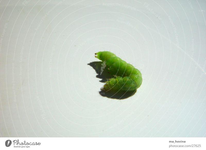raupe02 Insekt grün schlafen Raupe Schatten
