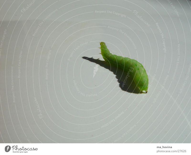 raupe01 Insekt grün Raupe Flucht Schatten