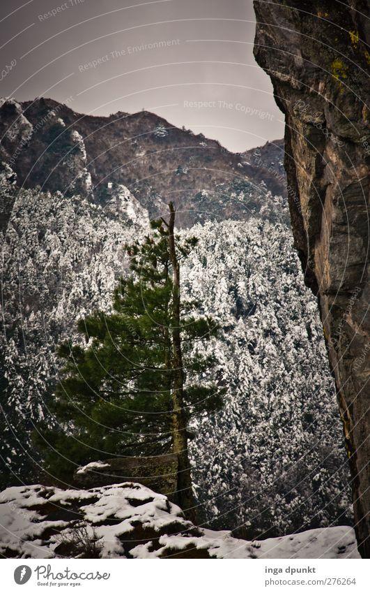Wetterfest Umwelt Natur Wolken Winter Klima schlechtes Wetter Eis Frost Schnee Baum Nadelbaum waldgrenze Felsspalten Berghang Felsen Berge u. Gebirge Gipfel