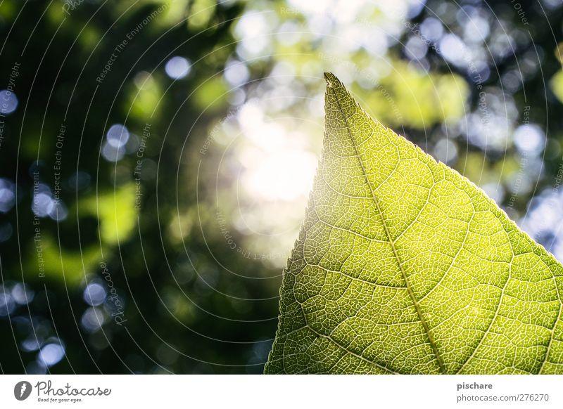 Green Natur Sonne Sommer Schönes Wetter Pflanze Blatt Wald natürlich grün Farbfoto Außenaufnahme Nahaufnahme Detailaufnahme Makroaufnahme Textfreiraum links Tag