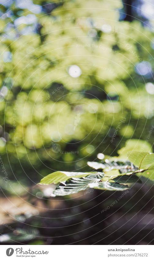 fagus (keine castanea) Natur grün Baum Pflanze Blatt Umwelt Wärme natürlich analog Grünpflanze gleich Blattadern Buche