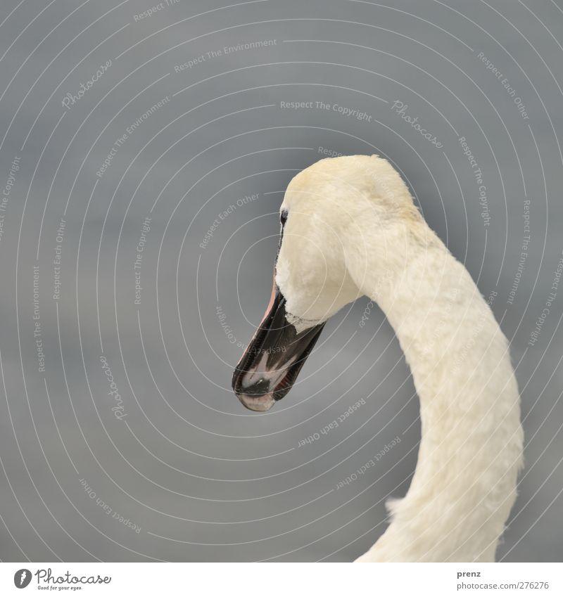 Schwan Umwelt Natur Tier Wildtier 1 grau weiß Vogel Hals Kopf Schnabel Bogen Farbfoto Außenaufnahme Menschenleer Textfreiraum links Hintergrund neutral Tag