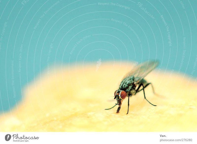 Mmh, Kuchen! Natur Tier Flügel Insekt Fliege Auge 1 blau gelb Farbfoto mehrfarbig Außenaufnahme Nahaufnahme Makroaufnahme Menschenleer Textfreiraum links
