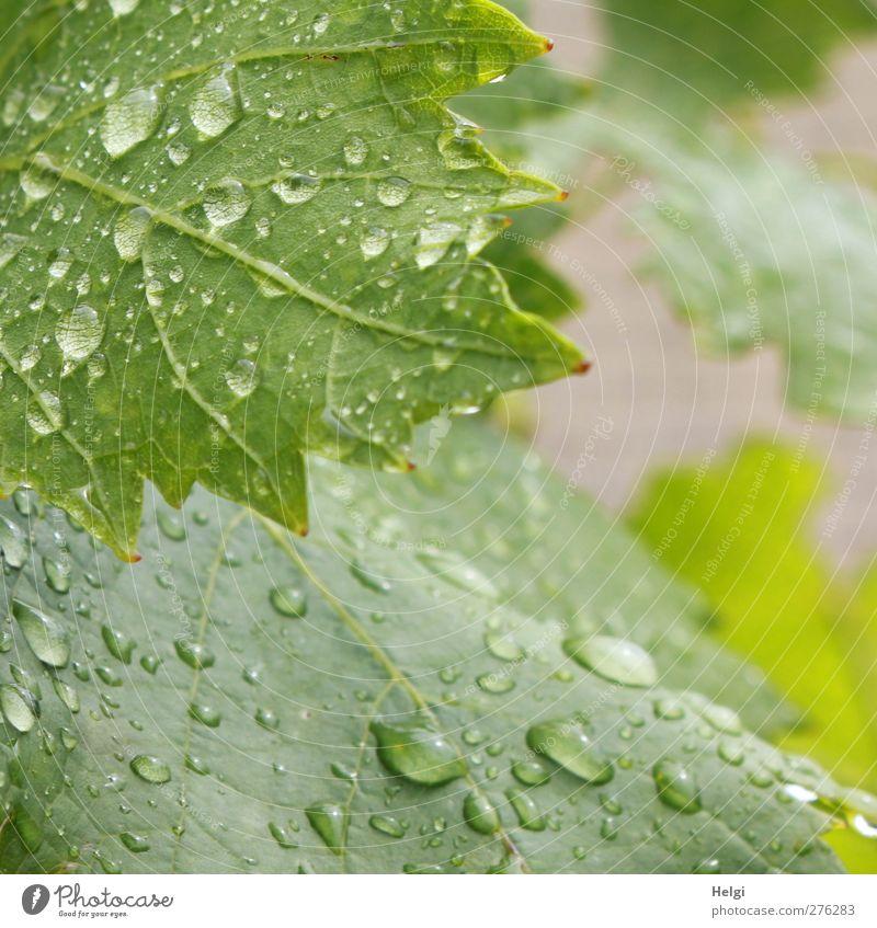 von zwei Seiten betrachtet... Umwelt Natur Pflanze Wassertropfen Sommer schlechtes Wetter Regen Blatt Nutzpflanze Wein Weinblatt Garten Wachstum ästhetisch