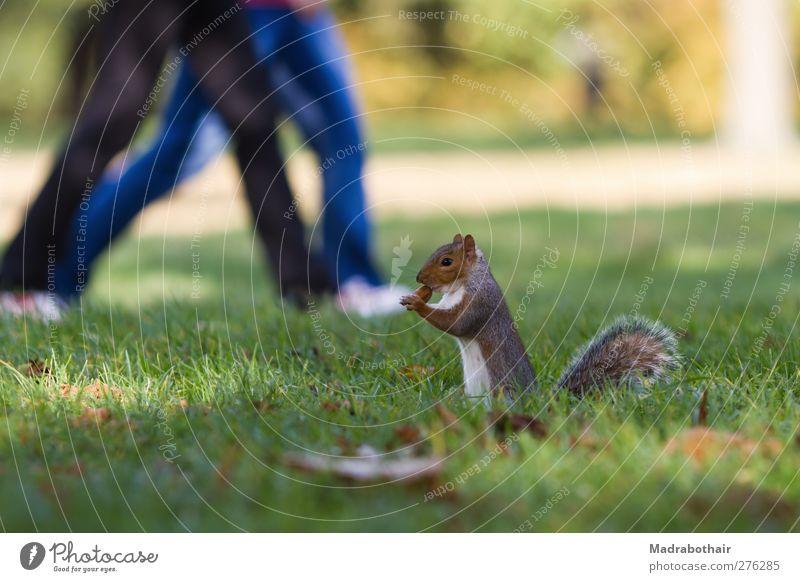 Eichhörnchen im Park Mensch Paar Beine 2 Herbst Gras Blatt Wiese Tier Wildtier Nagetiere Säugetier 1 gehen wandern niedlich Appetit & Hunger Bewegung