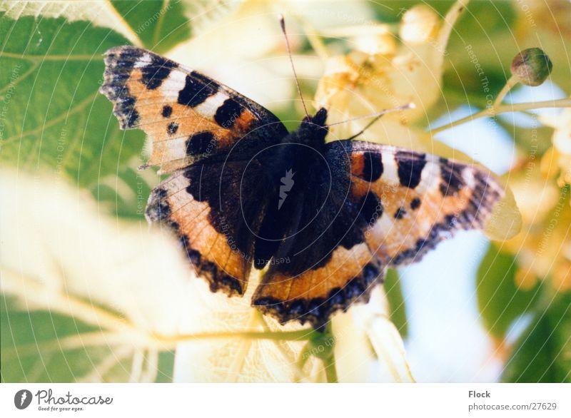 verletzter Kleiner Fuchs Schmetterling Insekt Frühling Tagfalter
