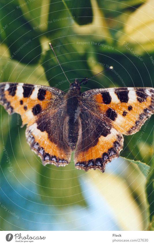 Kleiner Fuchs Insekt Schmetterling Frühling Tagfalter Nahaufnahme