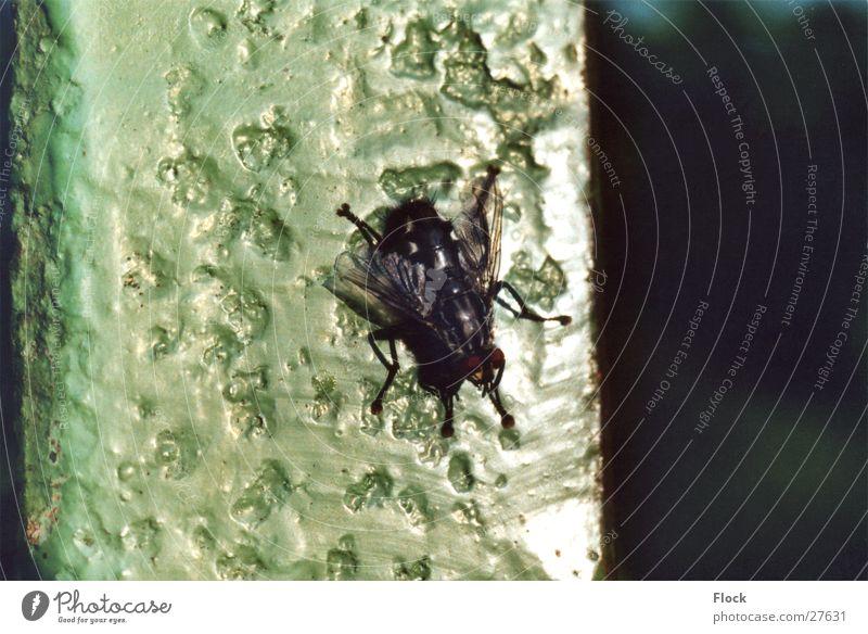 fly Fliege Insekt Rost hässlich