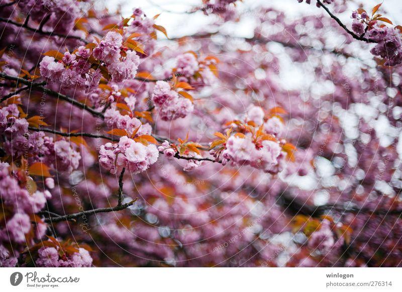 Kirschenwald Frühling Sommer Baum Blatt Blüte atmen Blühend Duft genießen Liebe träumen authentisch Fröhlichkeit Glück kuschlig nachhaltig Sauberkeit schön