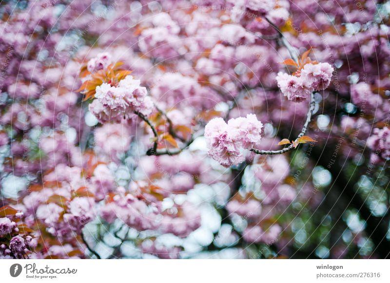 Kirschenwald 2 Frühling Sommer Baum Blatt Blüte atmen Blühend Duft genießen hängen Liebe träumen authentisch Fröhlichkeit Glück Kitsch nachhaltig Sauberkeit