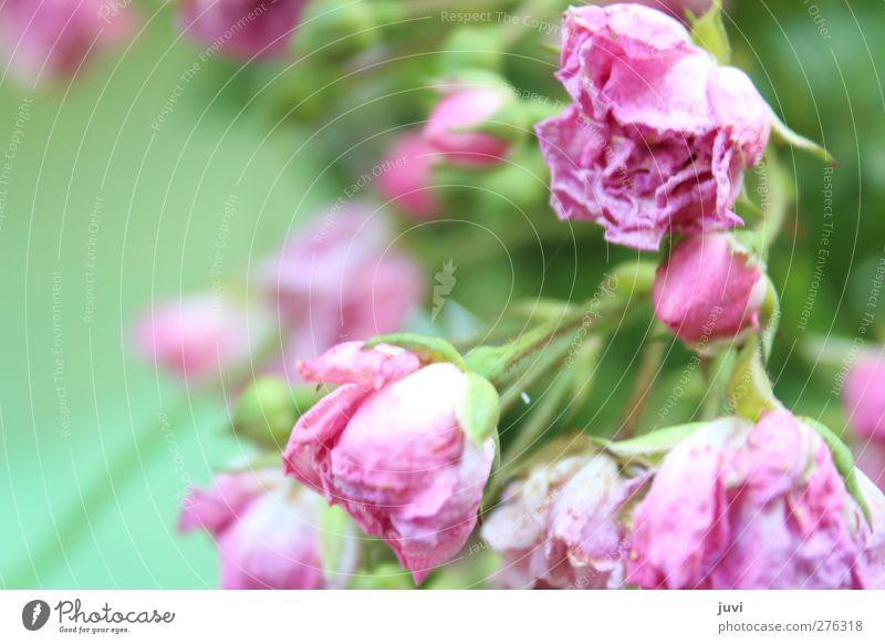 """Rosarosig"" Natur alt grün Sommer Pflanze Blume Blüte rosa wild Romantik Rose trocken Duft verträumt edel verblüht"