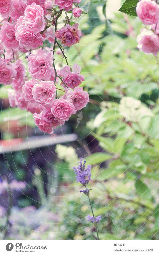 Regenpause Garten Sommer Schönes Wetter Blume Rose Lavendel Blühend hell natürlich grün rosa Lebensfreude Landleben Farbfoto Außenaufnahme Menschenleer
