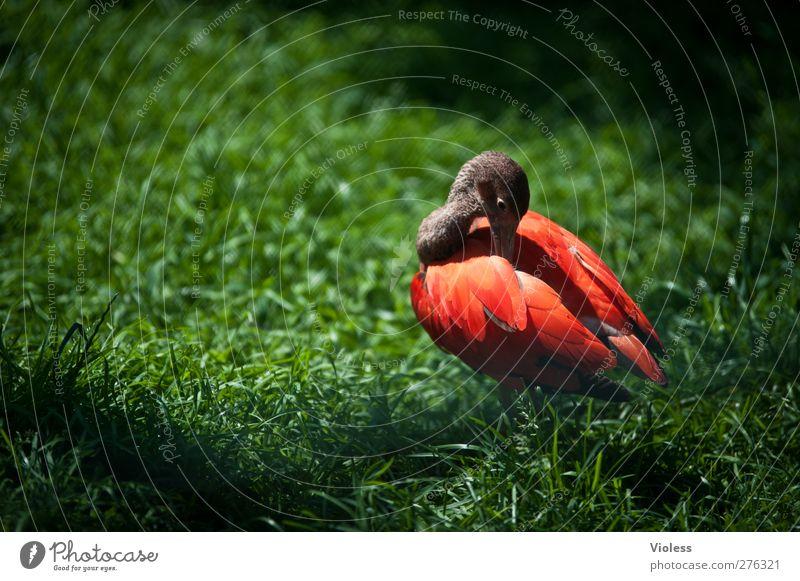 unauffällig, oder? rot Tier Vogel leuchten Reinigen Zoo Ente