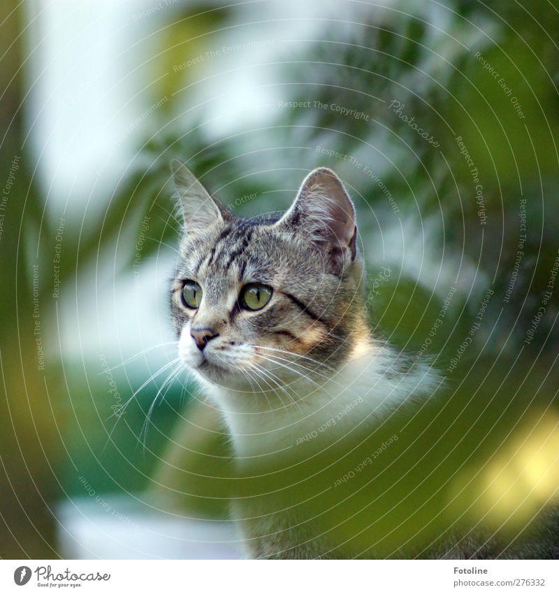 Monty Umwelt Natur Pflanze Tier Sommer Baum Sträucher Blatt Garten Haustier Katze Tiergesicht Fell 1 hell natürlich schön weich grau grün weiß Katzenauge Ohr