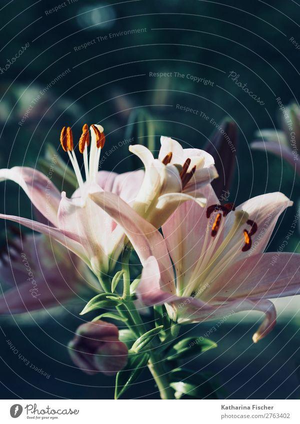 Lilien Lilienblumenstrauß Natur Pflanze Frühling Sommer Herbst Winter Blatt Blüte Liliengewächse Lilienblüte Blumenstrauß Blühend leuchten ästhetisch Duft hell