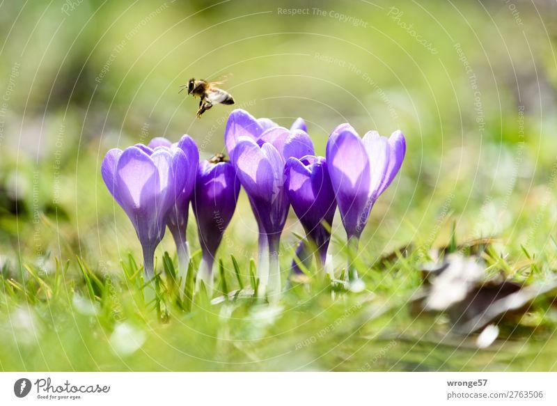 Krokusse mit Biene Natur Pflanze grün Blume Tier Frühling Wiese Gras Garten fliegen Park Wildtier Schönes Wetter violett nah