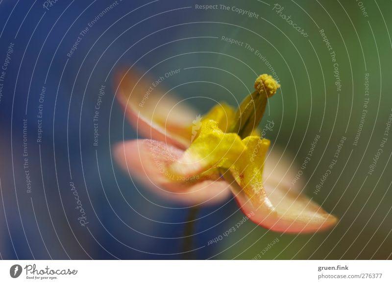 sommerfarben Pflanze Sommer Blume Blüte Blühend schön nah mehrfarbig ästhetisch Farbfoto Außenaufnahme Makroaufnahme Textfreiraum links Textfreiraum oben