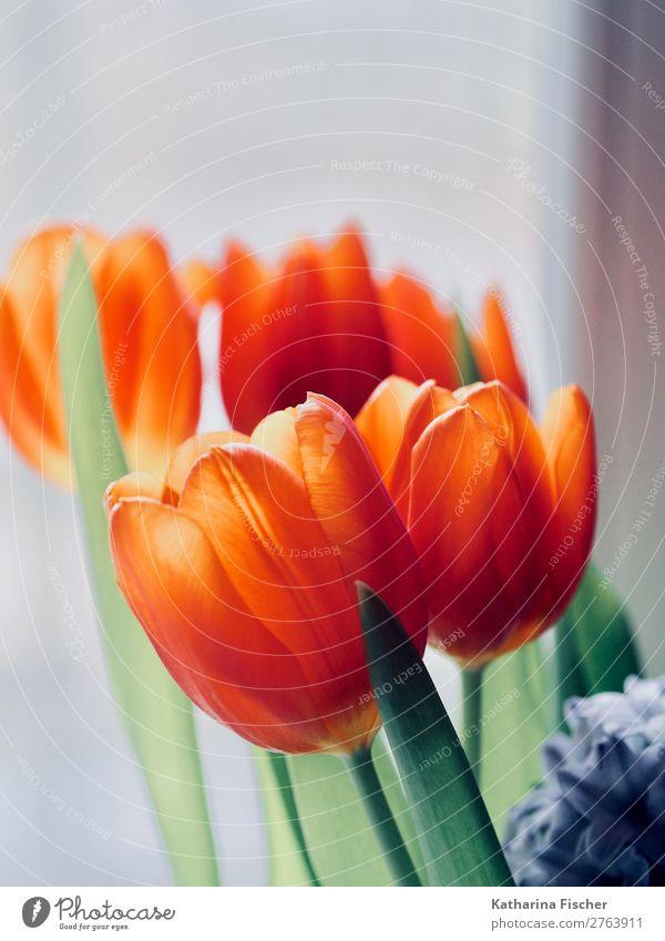 rot-orange Tulpen Tulpenstrauß Blumenstrauß Pflanze Frühling Sommer Herbst Winter Blatt Blüte Blühend leuchten Wachstum blau grün violett rosa türkis weiß