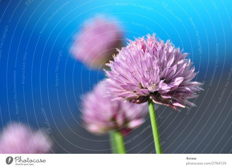 Ein Hauch Lauch 2 Lebensmittel Kräuter & Gewürze blau grün violett rosa Farbfoto Textfreiraum links