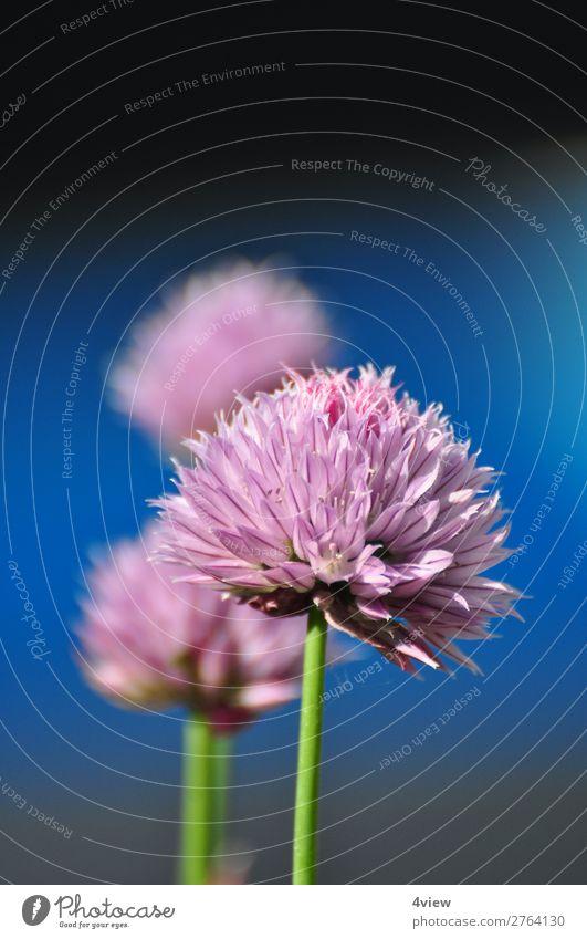 Ein Hauch Lauch 1 Kräuter & Gewürze Pflanze Blüte Nutzpflanze grün violett rosa Blühend essbar Farbfoto Detailaufnahme Textfreiraum oben