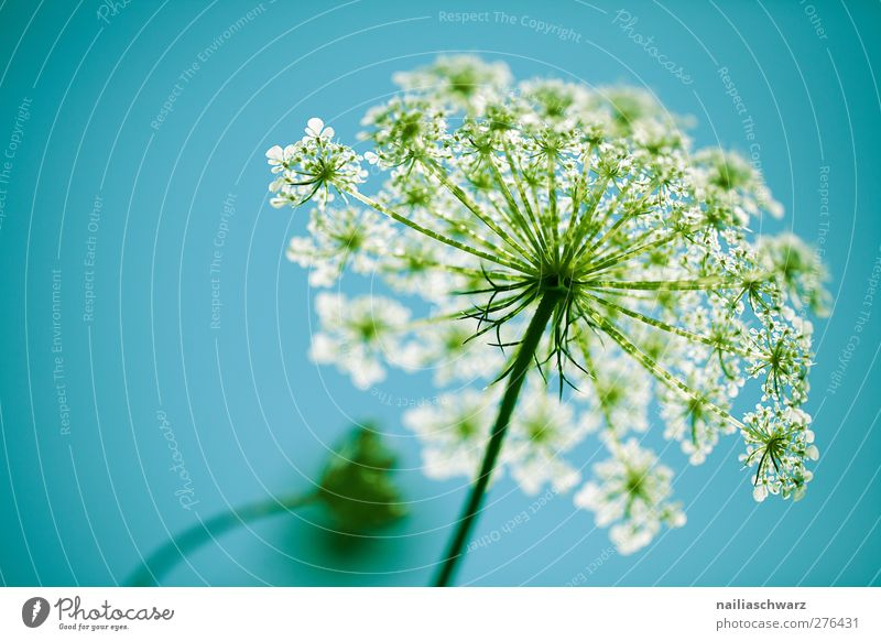 Aegopodium podagraria Himmel Natur blau grün Sommer Pflanze Blume Erholung Umwelt Blüte Wachstum Blühend Duft Leichtigkeit Grünpflanze Reinheit
