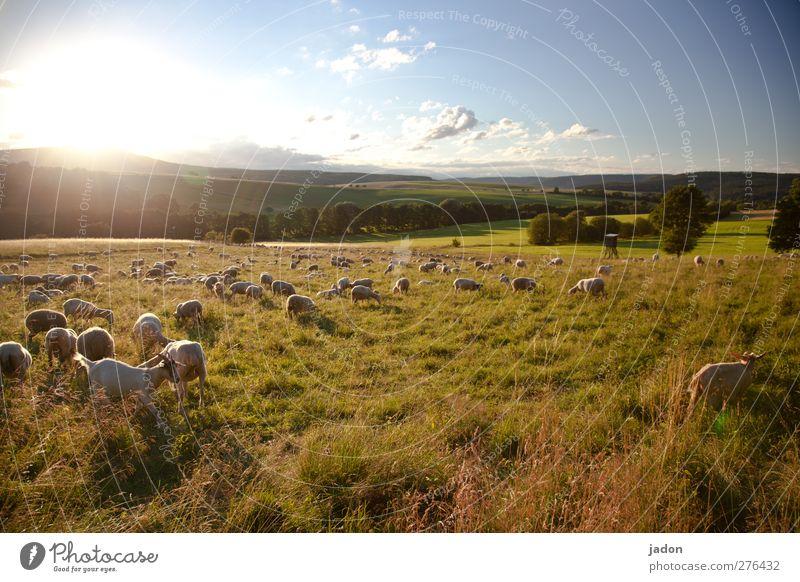 schäfchenstunde. Sommer Landwirtschaft Forstwirtschaft Landschaft Himmel Sonnenaufgang Sonnenuntergang Schönes Wetter Feld Weide Tier Nutztier Schaf Schafherde