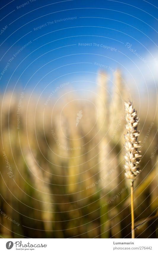 Ährenplatz Sommer Pflanze Einsamkeit Landschaft Umwelt Feld natürlich Lebensmittel Wachstum stehen Schönes Wetter einzeln viele einzigartig Landwirtschaft nah