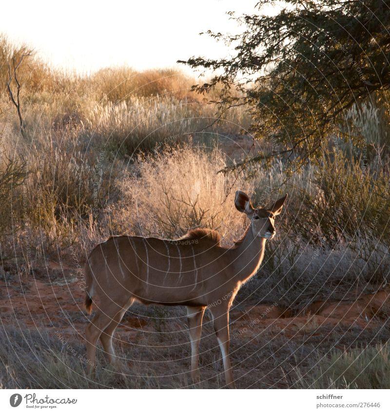 Du Kuh Du! Natur Tier Landschaft Umwelt Wildtier wild stehen Wüste entdecken Steppe Tarnung Safari Namibia Kalahari Kudu