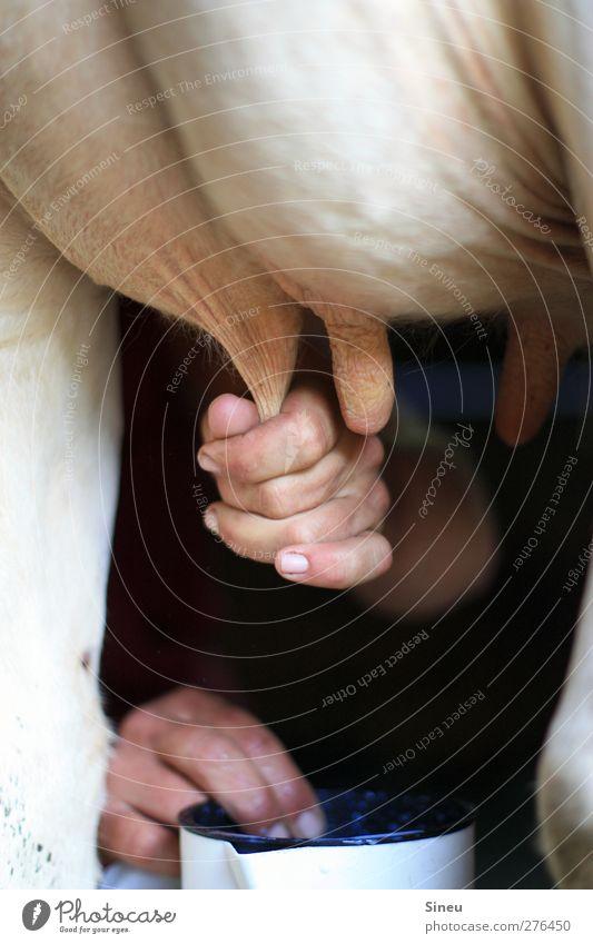 Vollmilch Mensch Hand Tier ruhig Erholung warten stehen Finger Landwirtschaft Gelassenheit Kuh Milch Forstwirtschaft Nutztier geduldig