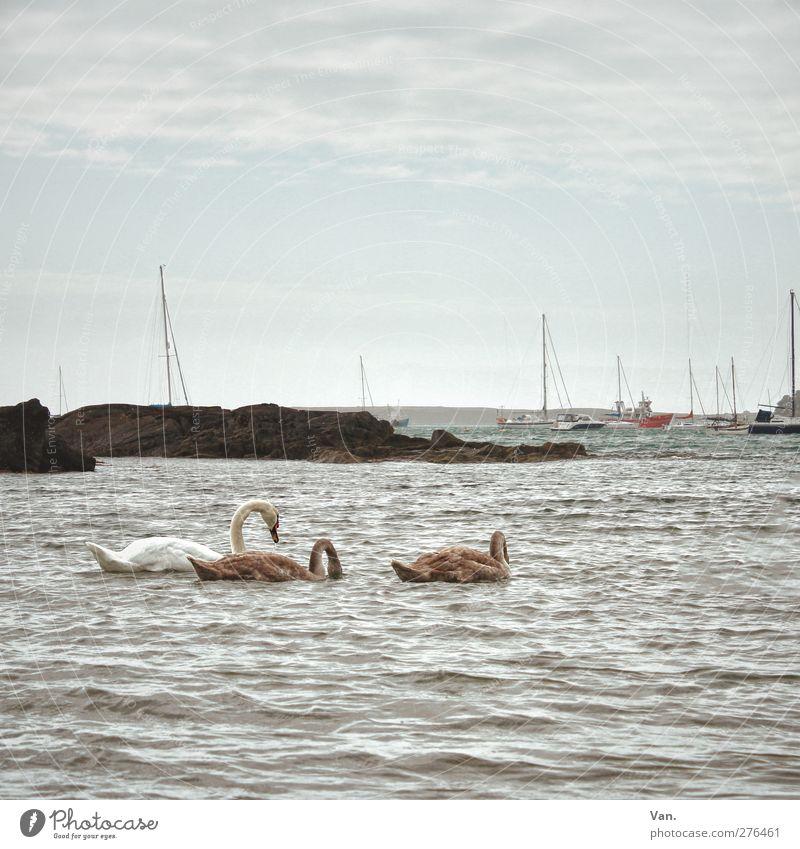 Schwanensee Natur Tier Wasser Himmel Wolken Felsen Wellen Küste Bucht Meer Fischerboot Segelboot Wildtier 3 Tierfamilie Schwimmen & Baden Farbfoto