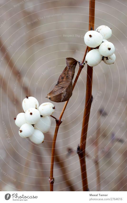 Snowberry Fruit im Winter Frucht Umwelt Natur Pflanze Herbst frisch natürlich weiß symphoricarpos Symphoricarpos albus Albus Hintergrund Beeren botanisch