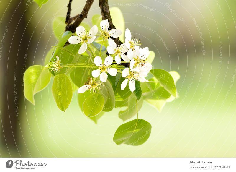 Kirsch- oder Apfelblüten schön Garten Natur Pflanze Frühling Baum Blume Blatt Blüte Blühend Wachstum frisch hell natürlich weich grün weiß Beautyfotografie