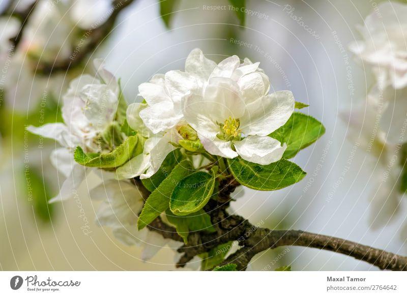 Apfelbaumblüten schön Garten Natur Pflanze Frühling Baum Blume Blatt Blüte Blühend frisch hell natürlich weich grün weiß Beautyfotografie Überstrahlung Ast