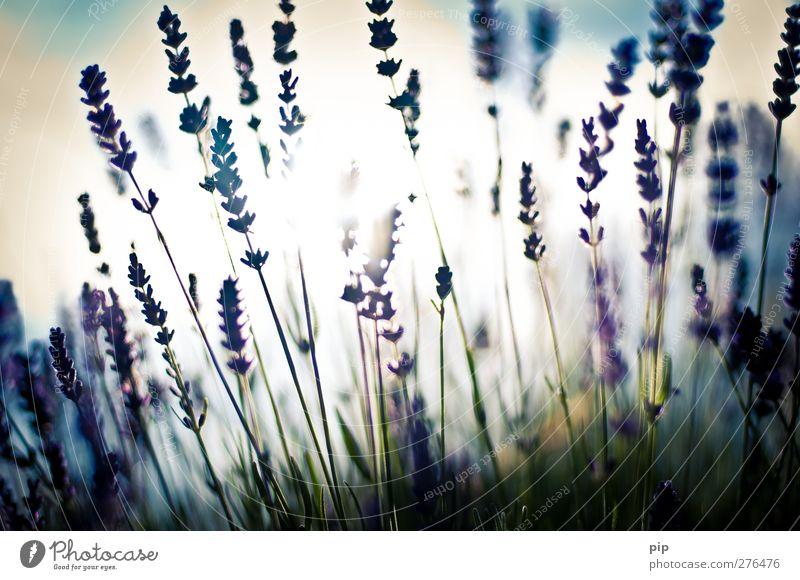 lovendel Umwelt Natur Pflanze Blüte Lavendel hell violett Unschärfe Stauden Duft Halm Farbfoto Gedeckte Farben Außenaufnahme Detailaufnahme Menschenleer Tag