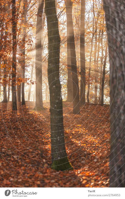 herbstlich Natur Herbst Nebel Baum Wald Wärme Beleuchtung Bayern Blatt Zweige u. Äste orange gelb Buchenwald Fichte Laubbaum erhellend erleuchten Hoffnung